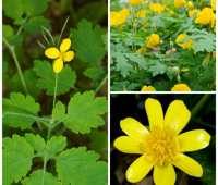easy-to-propagate wildflowers, plus 'celandine' confusion, with carol gracie