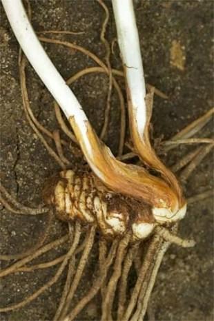 Trillium_erectum_05_rhizome