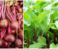 how to grow beets, with brian campbell