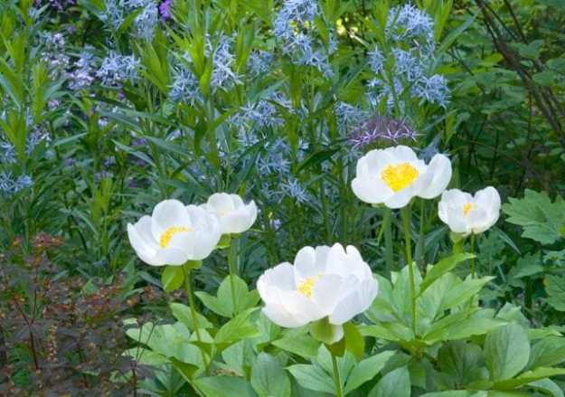 """More of the """"What's that?"""" queries: """"What's that sky blue plant?"""" It's Amsonia tabernaemontana, bluestar, a native American. Foreground, peony 'Golden Angel.'"""