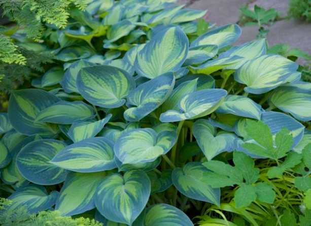 """Hosta 'June' got its deserved share of """"ooh's"""" and """"aah's."""""""