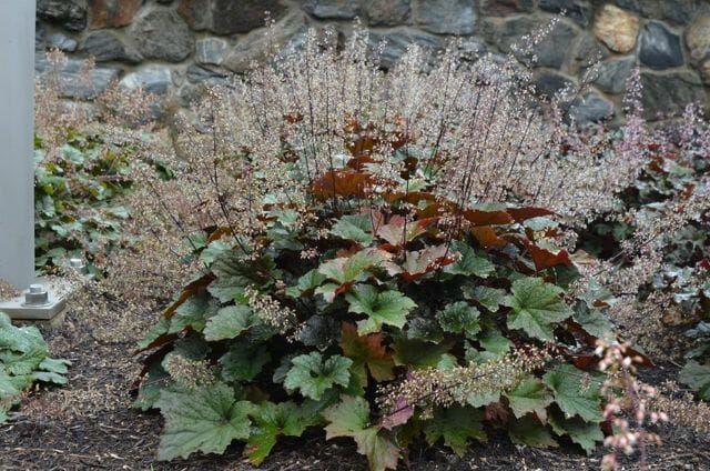 Bronze Wave Heuchera