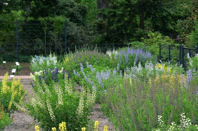 Baptisia trials at Mt. Cuba