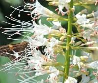 great shrub: bottlebrush buckeye