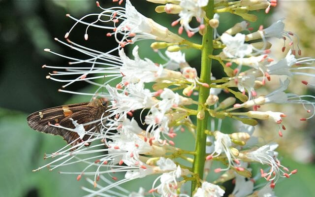 silver-spotted skipper in aesculus
