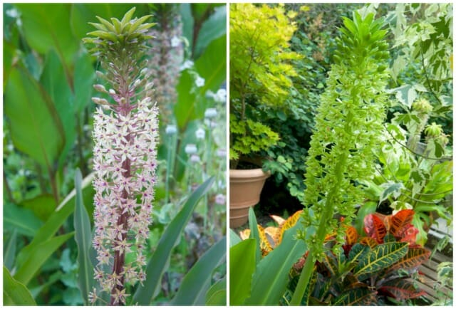 john treasure and giant eucomis