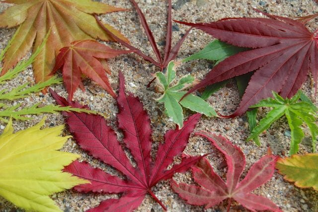 Acer palmatum leaf assortment- May 1 2012-3