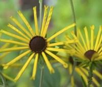 flower detail henry eilers rudbeckia