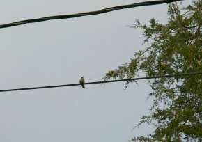In between sips, they like the telephone wire nearby as a vantage point.