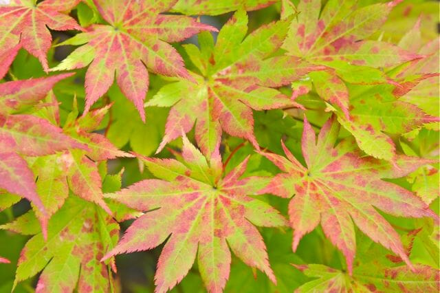 japanese maple foliage