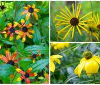 reliable rudbeckia: 'henry eilers' and 'prairie glow' join 'herbstsonne' in the garden
