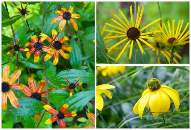 rudbeckia collage