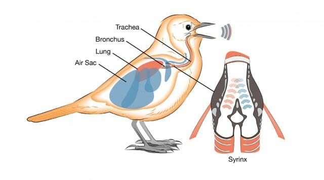 AllAboutBirdBiology_songbirdsyrinx_ALeach