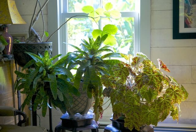 begonia and bromeliad indoors