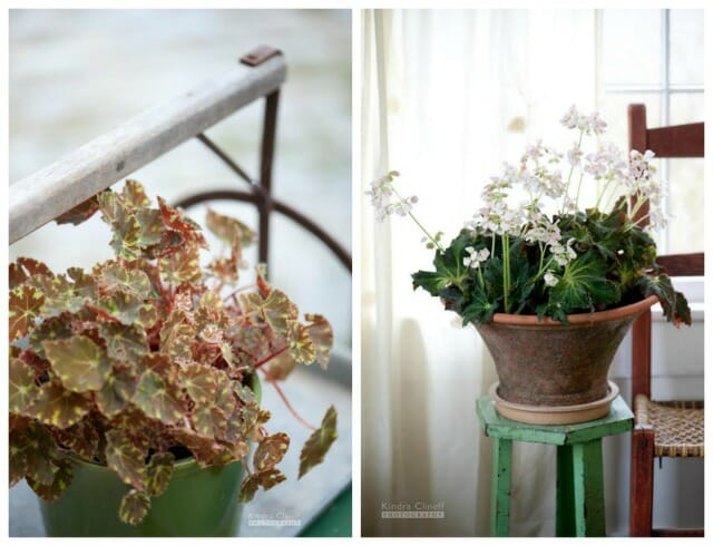 Growing Begonias With Tovah Martin A Way To Garden