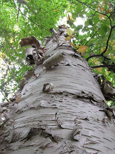 wojtech_bark_10_paper-birch-trunk_web