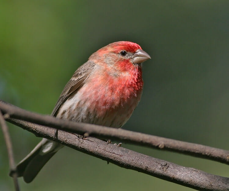 House Finch male Tom Grey