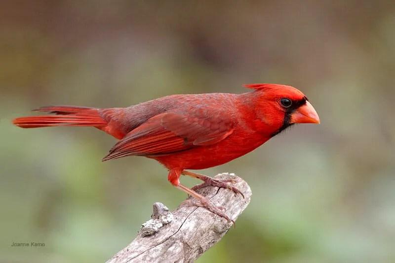 Northern Cardinal Joanne Kamo