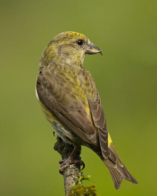 Red-Crossbill-female-Gregg-Thompson-640