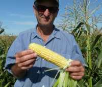 a new corn, bred for organic farms and gardens, tells a bigger story