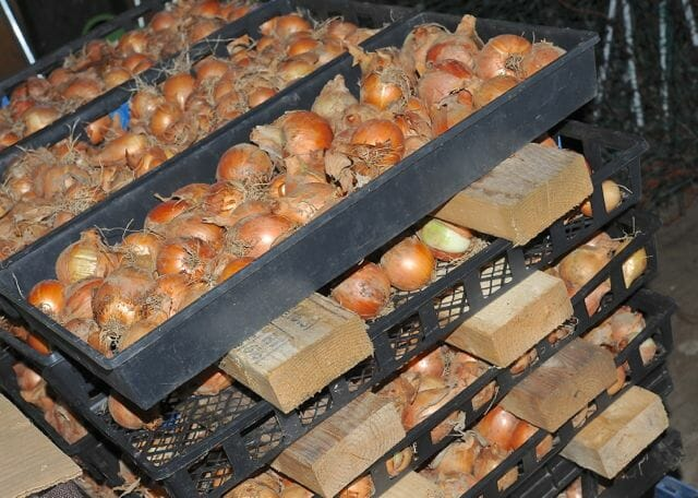 curing onions at seed library