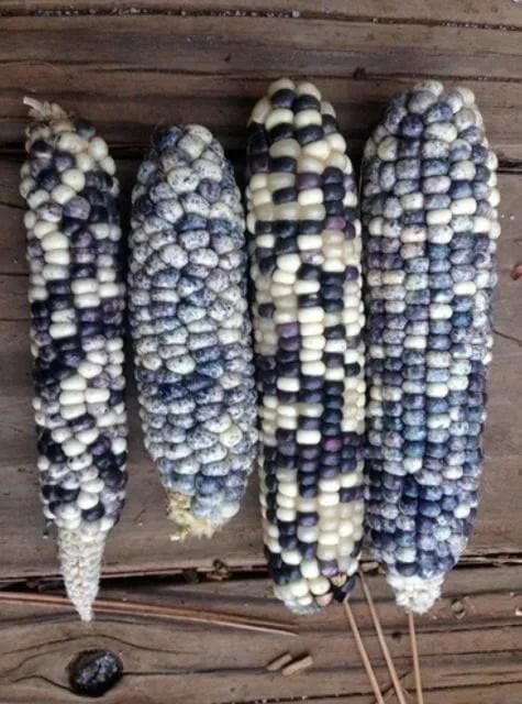 robin's egg navajo corn