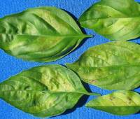 basil under pressure: the fight against devastating downy mildew