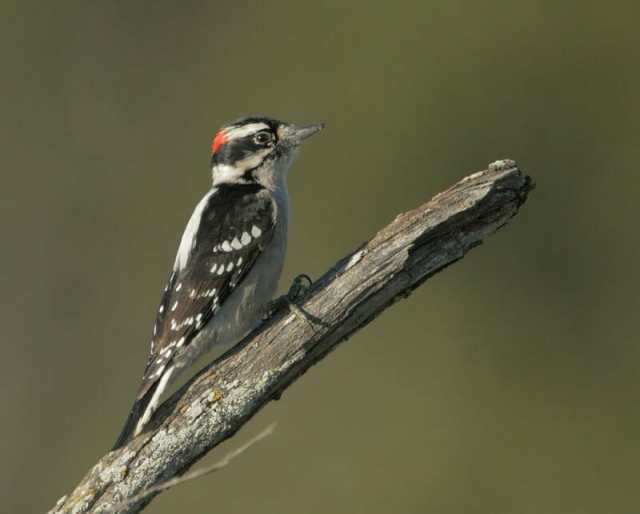 Downy Woodpecker Tom Grey