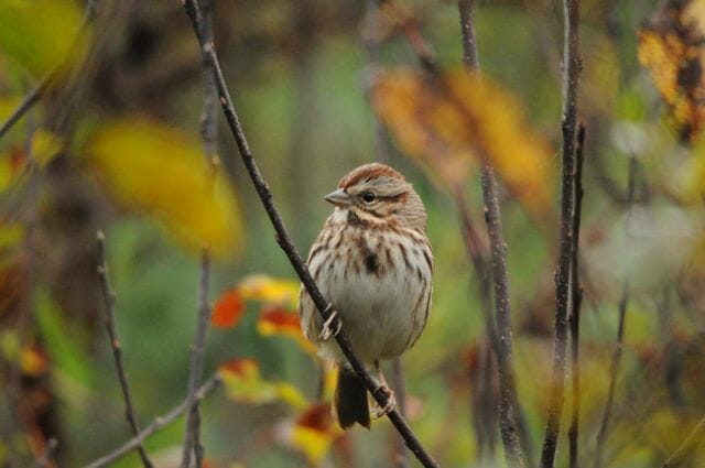 Song Sparrow © Putneypics