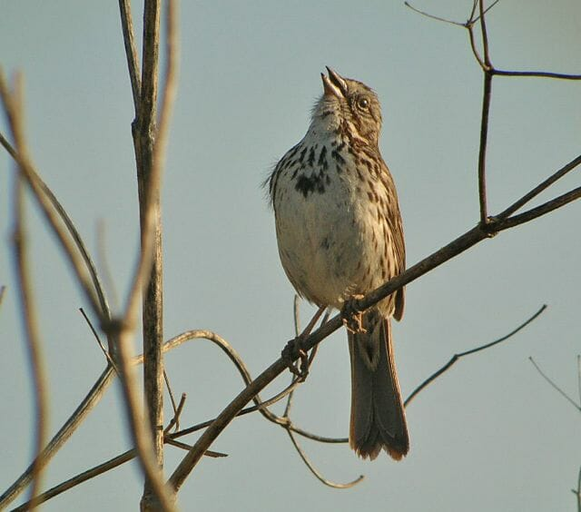 Song Sparrow singing © Jamie Chavez