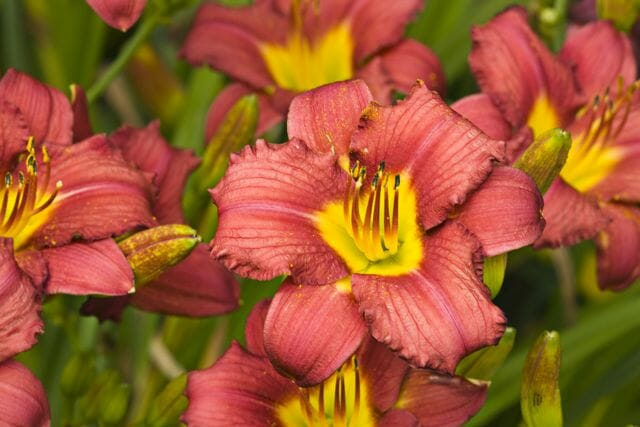 Hemerocallis 'Chicago Apache' close-up; daylily