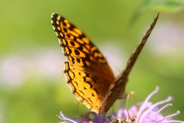 Great_Spangled_Fritillary
