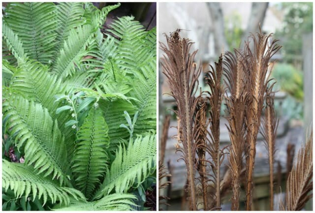 Plant Delights Matteuccia The King