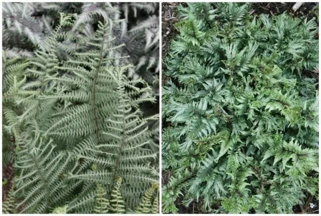 plant delights ocaens fury and thrill seeker