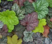 the best heuchera and how to grow them, with mt. cuba center