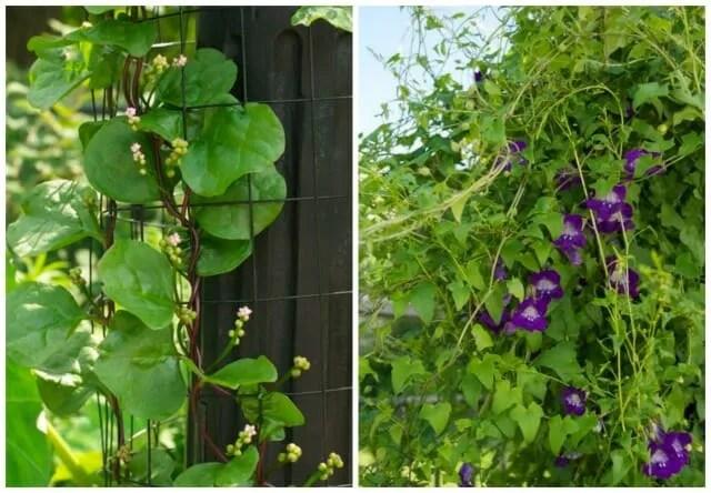 basella and asarina select seeds