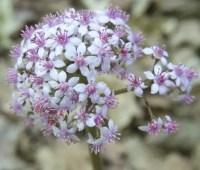 a plant i'd order: darmera peltata, a shady western native