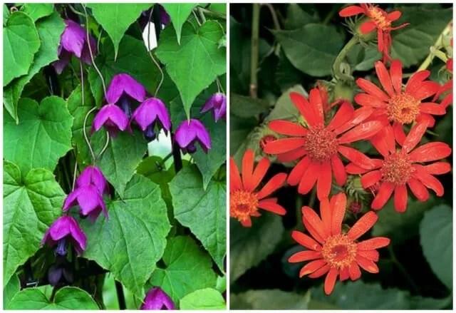 rhodochiton and senecio select seeds