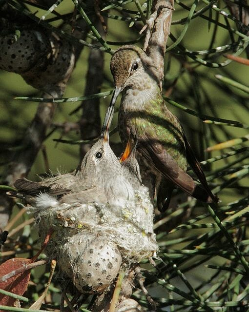 Anna's Hummingbird female feeding nestlings © Tom Grey