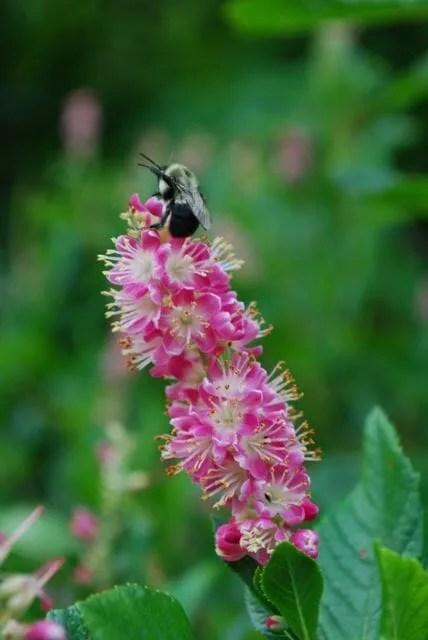 Clethra alnifolia 'Ruby Spice' 2