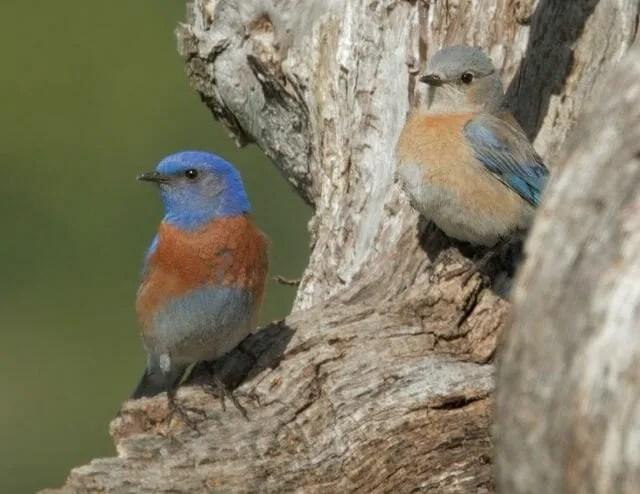 Western Bluebird pair at nest © Tom Grey