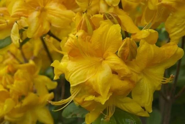 klondyke azalea flowers