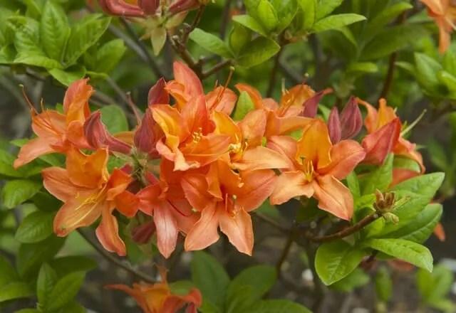 mandarin lights azalea