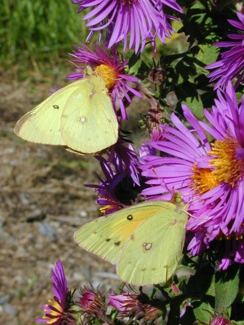 sulphur butterfly, by andy brand