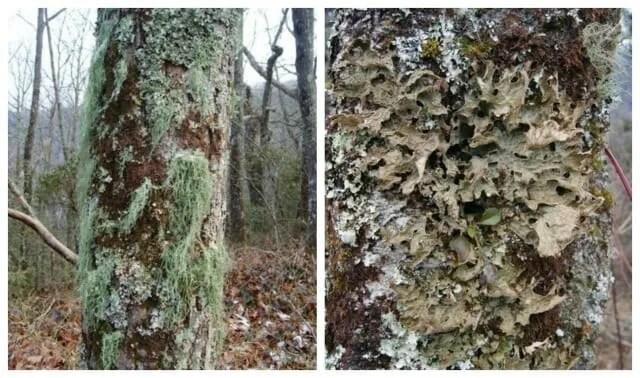 james lendemer lichens 2