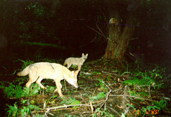 coyotes_camtrap-1small