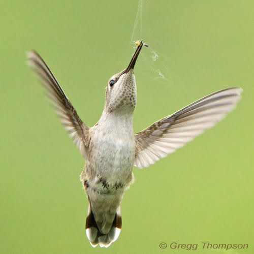 hummingbird by Gregg Thompson
