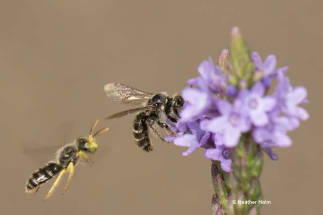 Mining bees copyright Heather Holm