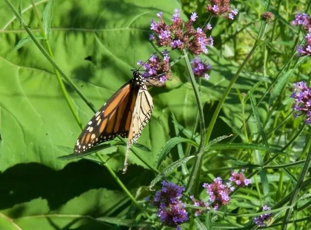 monarch verbena