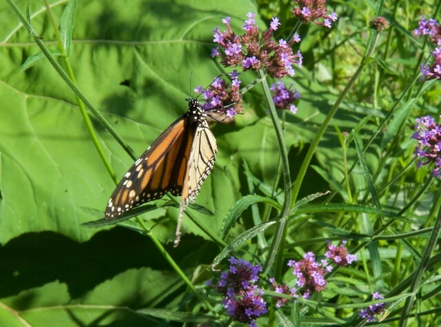 monarch verbena